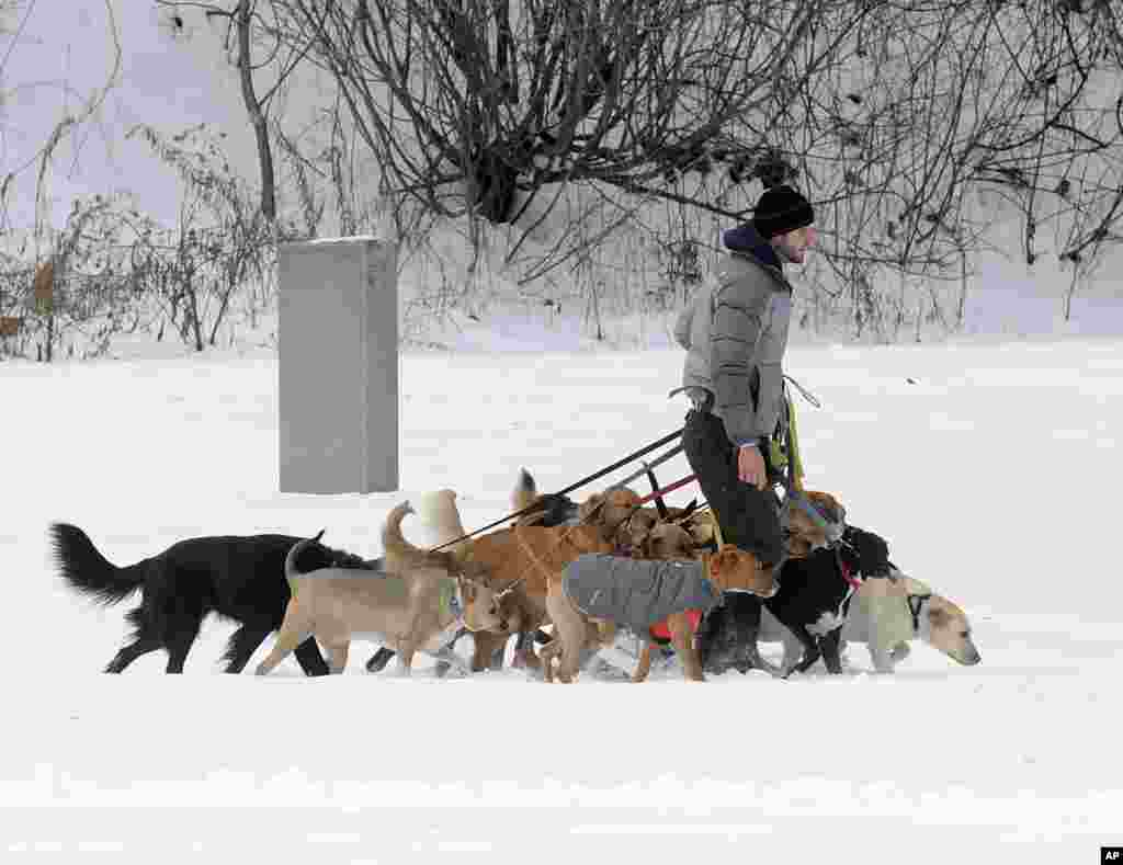 Tim Pink of Saratoga Dog Walkers controls 12 dogs on a walk in fresh snow at Congress Park in Saratoga Springs, N.Y