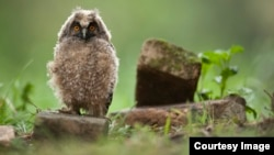 Mladunče sove (Foto: Društvo za zaštitu i proučavanje ptica Srbije)