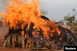 FILE - Five tons of ivory seized from illegal poaching of elephants in Malawi and Zambia, being burned in Kenya.