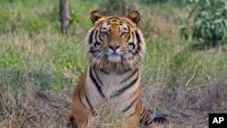 印度一隻受到保護的8歲孟加拉虎(2010年2月資料照)