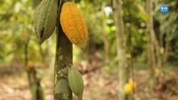 Kakaonun Geleceği Tehlikede mi?