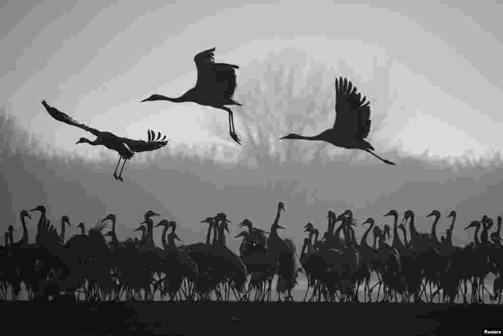 Migrating cranes stand as others fly over the Hula Lake Ornithology and Nature Park in northern Israel.