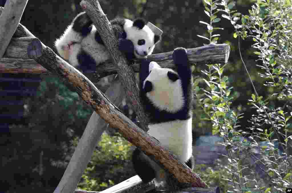 Panda bear cubs Meng Xiang (nickname Piet), right, and Meng Yuan (nickname Paule), left, play in their enclosure on their first birthday in Berlin, Germany.