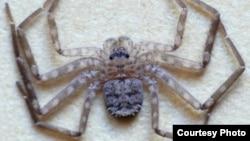 Karaops Spider. (Photo courtesy of Ron Atkinson/findaspider.org.au)