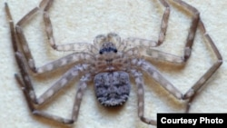 Karaops Spider. (Photo courtesy of Ron Atkinson/findaspider.org.au)