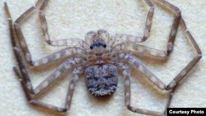 Karaops Spider Photo Courtesy Of Ron Atkinson Findaspider Org Au