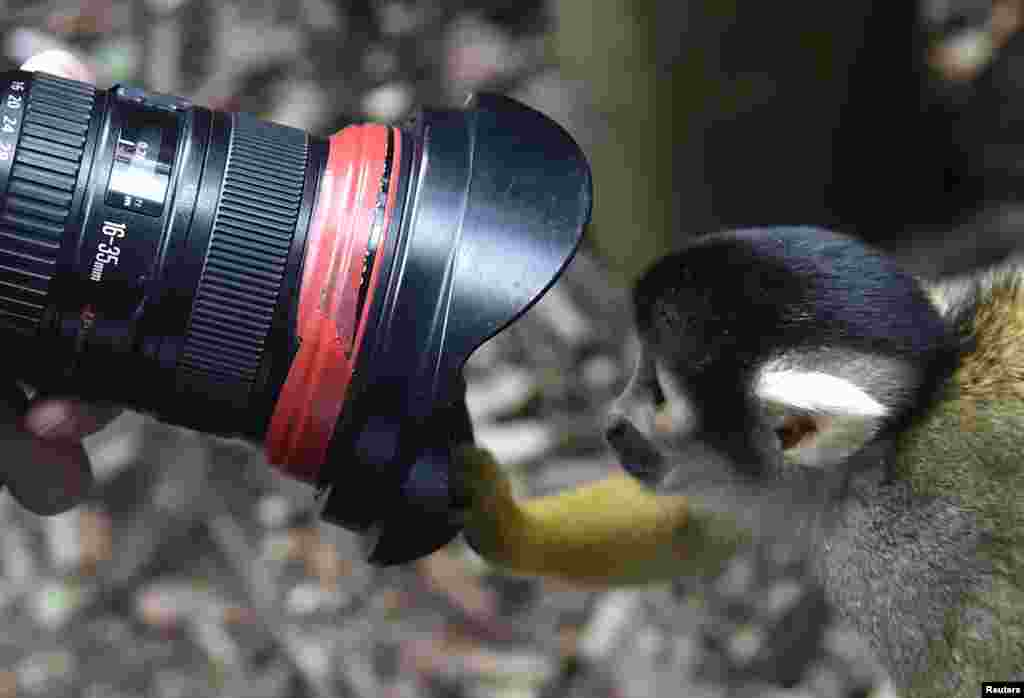 A Squirrel Monkey peers into a photographer's lens during a photocall at the London Zoo.