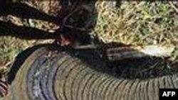 Một con voi Thái Lan bị thương vì giẫm phải mìn