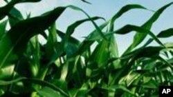Do biogoriva uzgajanjem energetskih biljaka