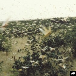 Swarming locusts, as seen here in Mali, can cause widespread destruction of crops