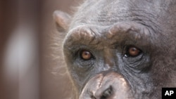 Chimpanzees used in medical experiments often experience maternal separation, social isolation and solitary confinement.