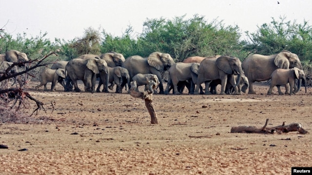 FILE - A herd of desert elephants searches for water in the drought-stricken Gourma region of Mali.