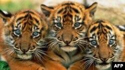 Giới hữu trách Ấn Độ di dời cả một ngôi làng để bảo vệ loài hổ