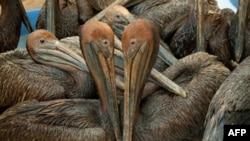 Những con bồ nông nâu bị dầu bám vào lông, khi vụ tràn dầu xảy ra, được đưa đến một trung tâm ở Louisiana để tẩy rửa