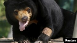 A sun bear is seen inside a semi-natural enclosure at a bear rescue center in Tam Dao national park, north of Hanoi, Vietnam, July 22, 2015. REUTERS/Nguyen Huy Kham/File Photo