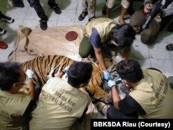 Para petugas dari BBKSDA Riau saat melakukan nekropsi bangkai harimau Sumatra yang mati karena terkena jerat, Senin 18 Mei 2020. (Foto: BBKSDA Riau)