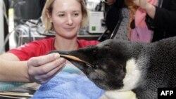 Знайдений у Новій Зеландії королівський пінгвін повертається додому в Антарктиду