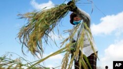FILE - A Cambodian farmer harvests rice in a paddy on the outskirts of Phnom Penh, Cambodia.