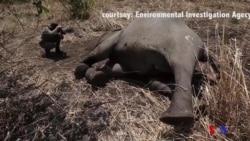 Comércio ilegal de marfim entre China e África