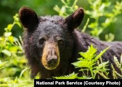A black bear in Shenandoah National Park