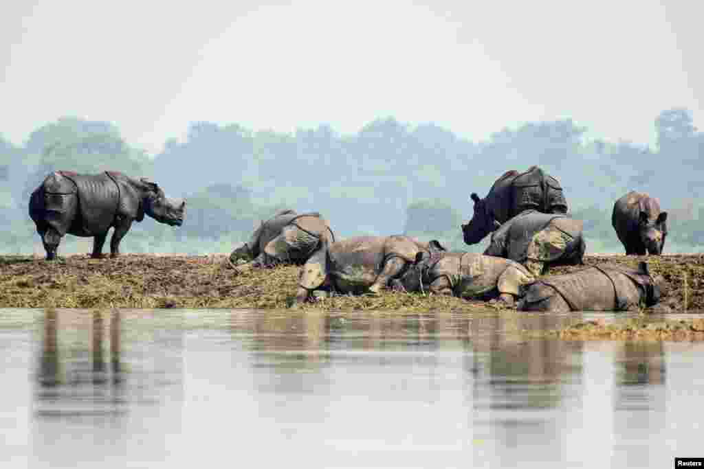 One-horned rhinos rest on a highland in the flood-affected area of Kaziranga National Park in Nagaon district, in the northeastern state of Assam, India, July 18, 2019.