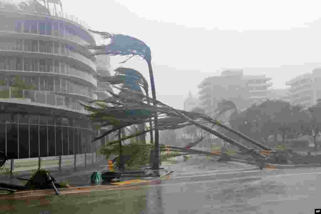 طوفان کی شدت سے میامی کے ساحل پر حال ہی میں لگائے گئے ناریل کے درخت جڑوں سے اکھڑ گئے