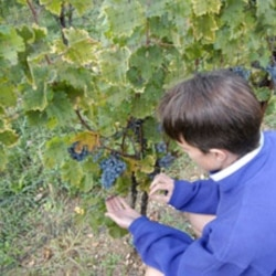Picking grapes from the vine