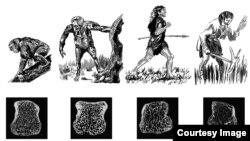 La ilustración muestra la densidad de los huesos a través de la evolución. [Foto: AMNH/J. Steffey]