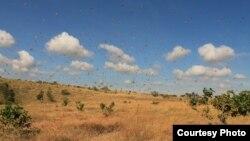 Ratusan belalang di sebuah savana di Sumba Timur, Nusa Tenggara Barat. (Courtesy: Heinrich Dengi)