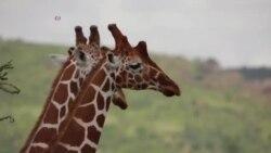 Светски ден на жирафата
