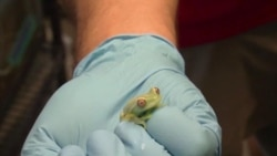 Conservationists Trying to Save, Reproduce Endangered Frogs