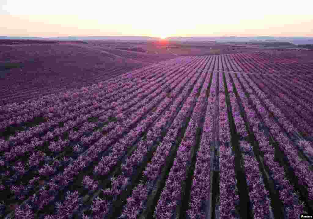 A view shows flowering of peach trees in Aitona, in the Catalonian province of Lleida, Spain.