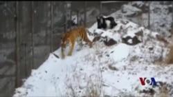 东北虎与'美食大餐'成为了好朋友