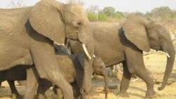 모잠비크 코끼리 밀렵 기승
