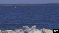 Tái sinh vỏ hào giúp bảo tồn Vịnh Chesapeake