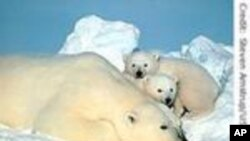 Working To Save Polar Bears
