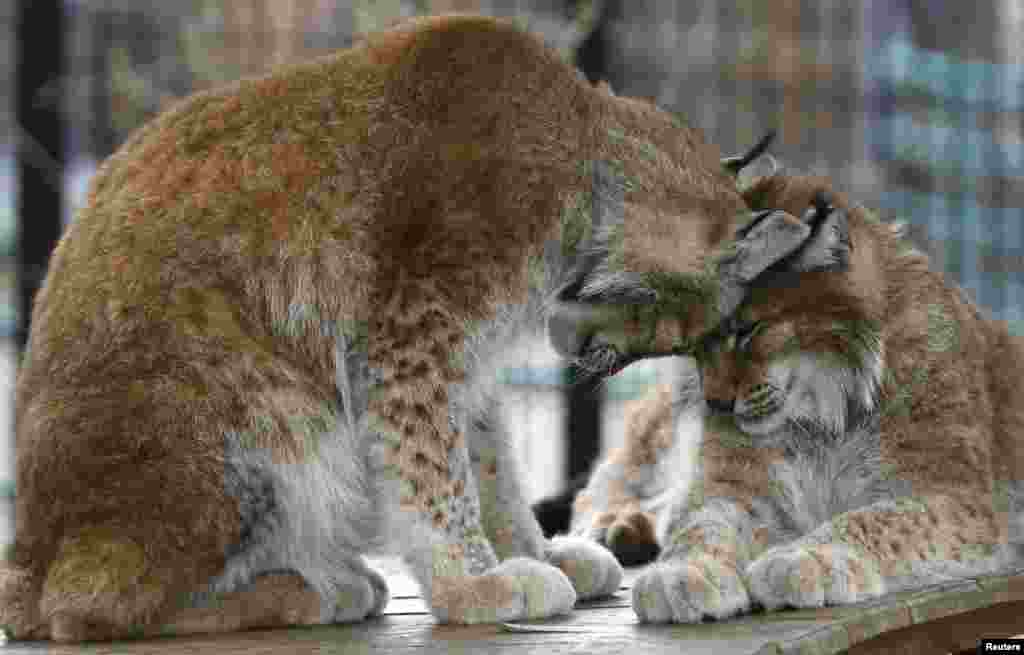 Siberian lynxes Yana (L) and Buran sit inside an open-air cage at the Royev Ruchey zoo in a suburb of the Siberian city of Krasnoyarsk, Russia.