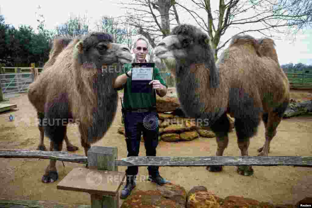 A zookeeper interacts with camels during the annual stocktake at ZSL London Zoo in London.