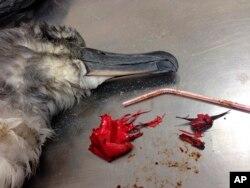 یک کبوتر دریایی مرده در کنار یک نی پلاستیکی و یک بادکنک که از شکمش بیرون آوردند.