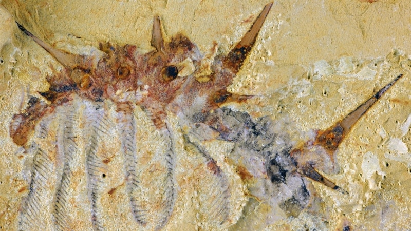 Spiky Little Sea 'Monster' Thrived a Half Billion Years Ago