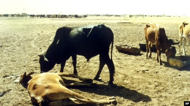 Cattle killed by rinderpest in Sudan in 1987. After a mystery disease killed cows in South Darfur, their herdsmen turned to South Sudan for help. (AP)