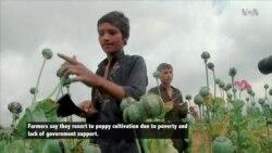Poppy Harvest Season Underway in Eastern Afghanistan