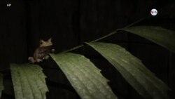 """CIENCIA/SALUD: Ranita """"extinta"""" redescubierta en selva ecuatoriana"""