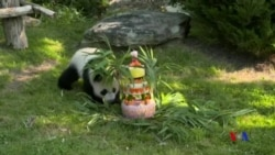法國出生的第一隻熊貓圓夢過一歲生日
