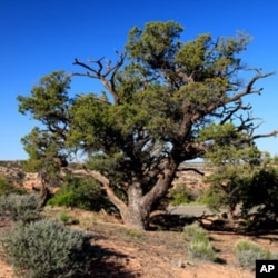 Piñon pine trees like this one dominate Rattlesnake Canyon.