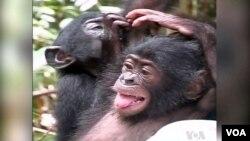 نسل این شامپانزه های حساس، در معرض خطر انقراض است