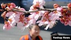 3일 부산 수영구 배화학교 앞에서 어린이들이 꽃망울을 활짝 터뜨린 벚꽃을 구경하고 있다.