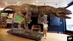 Joshua Wiles, five years old, looks at a massive bronzed fibre glass model of a Tyrannosaurus Rex on display during a press preview at Christie's auction rooms in London, Monday, Aug. 3, 2015. (AP Photo/Kirsty Wigglesworth)