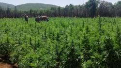 Lebanon's Farmers Turn to Growing Cannabis as Economy Sinks