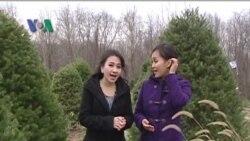 Berbagai Tradisi Terkait Holiday Tree (Pohon Natal) di Amerika - Dunia Kita Eps. Natal